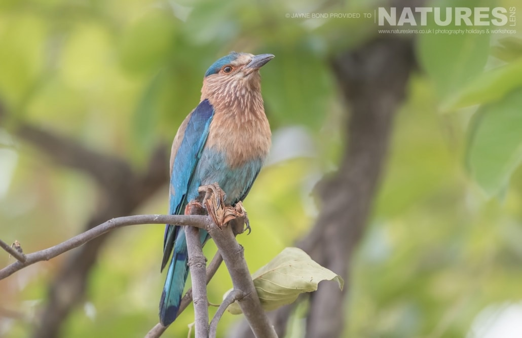 An Indian Roller found within Bandhavgarh Tiger Reserve captured during the NaturesLens Bengal Tigers of Bandhavgarh Photography Holiday