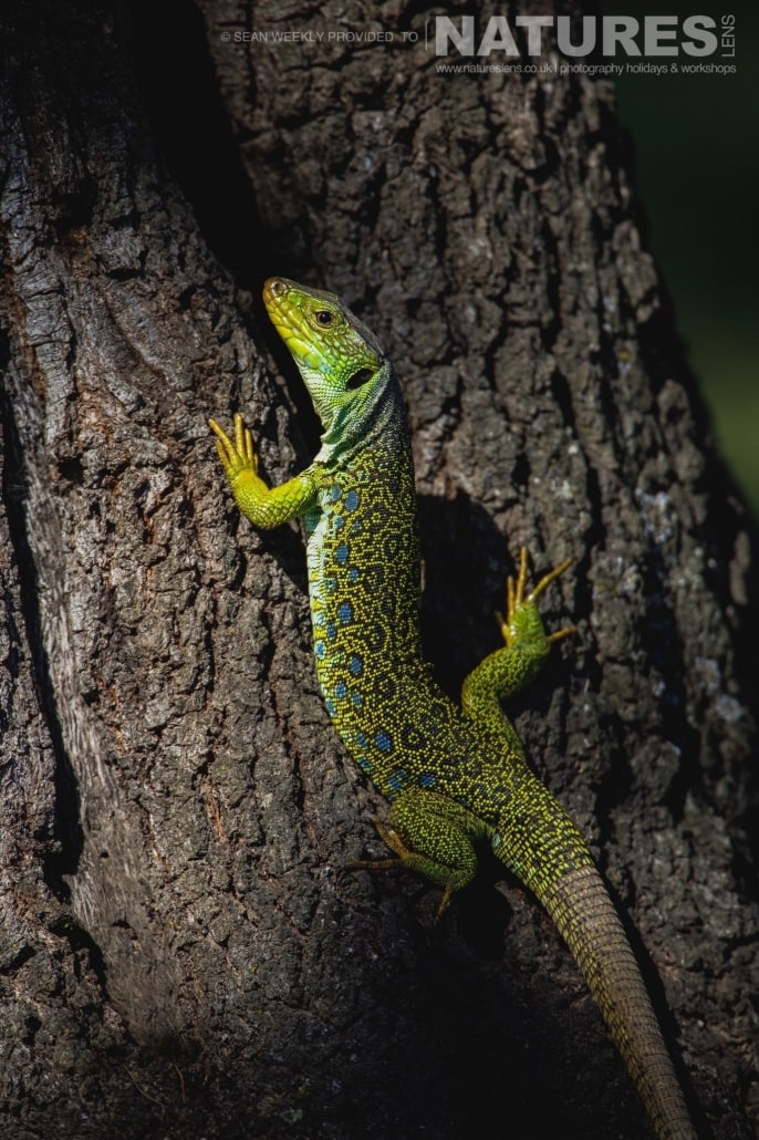 An Ocellated Lizard photographed during the NaturesLens Spanish Raptors Photography Holiday