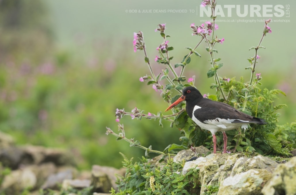 An oystercatcher photographed on the NaturesLens Skomer Puffins Photography Holiday