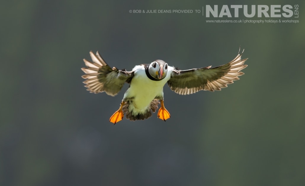 Coming in to land near The Wick a puffin photographed on the NaturesLens Skomer Puffins Photography Holiday