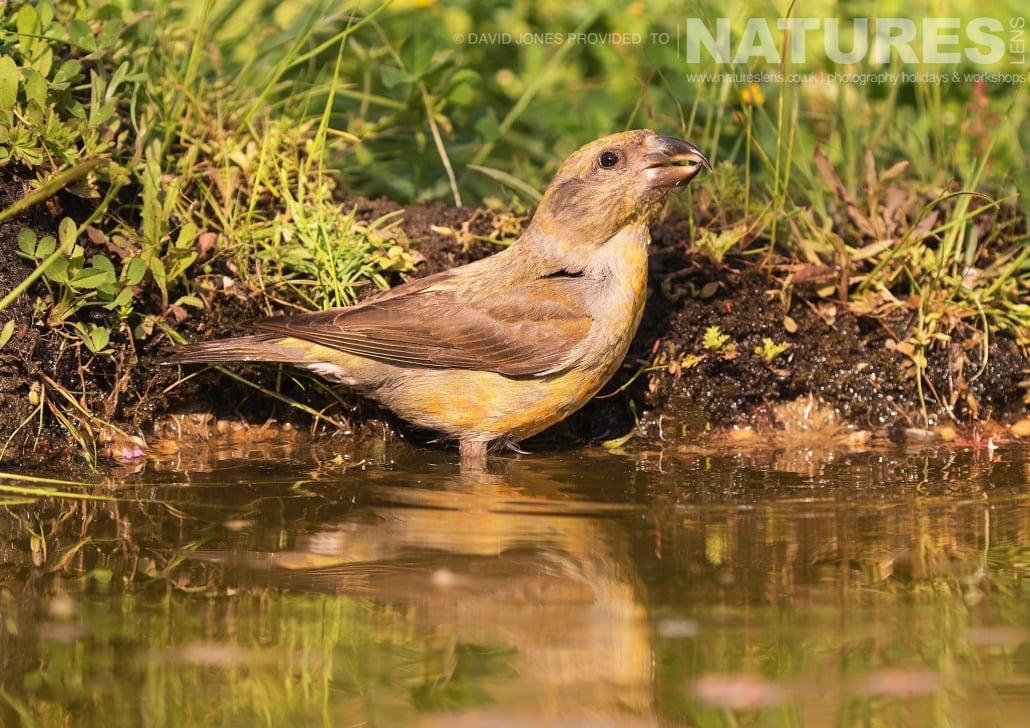 Common Crossbill Drinking photographed on one of the pair of NaturesLens Wildlife Photography Holidays to capture images of the Birds of Spain