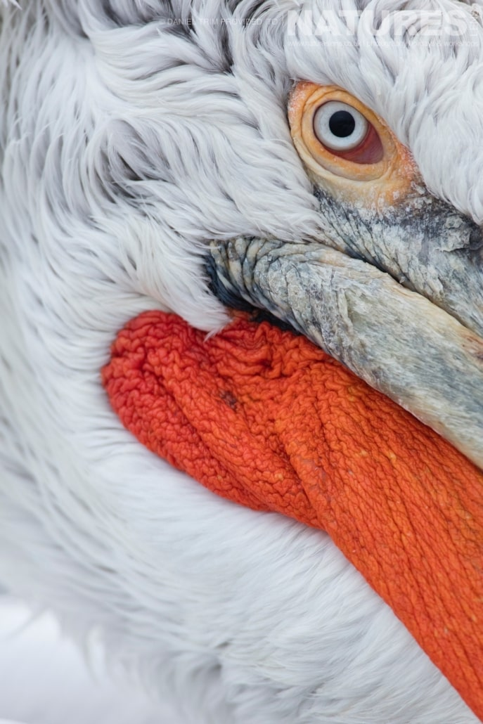 Dalmatian Pelican Eye Detail one of Daniel Trim's images captured on the NaturesLens Dalmatian Pelicans of Lake Kerkini Photography Holiday