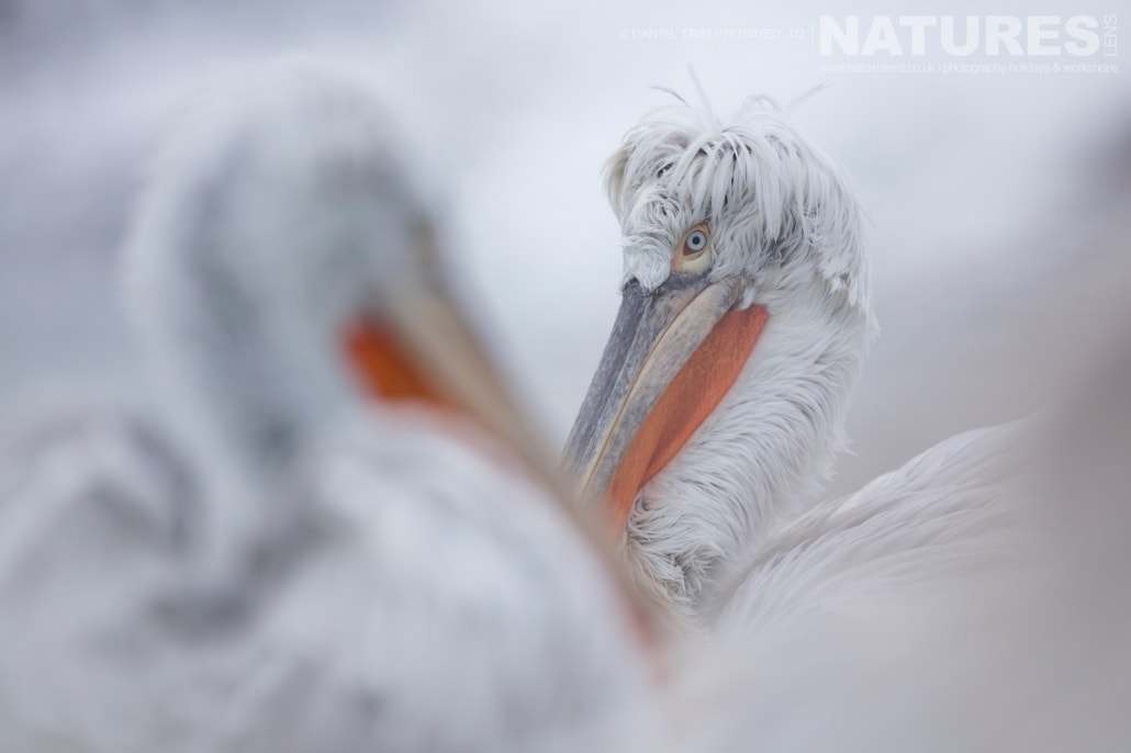 Dalmatian Pelican Focus Detail one of Daniel Trim's images captured on the NaturesLens Dalmatian Pelicans of Lake Kerkini Photography Holiday