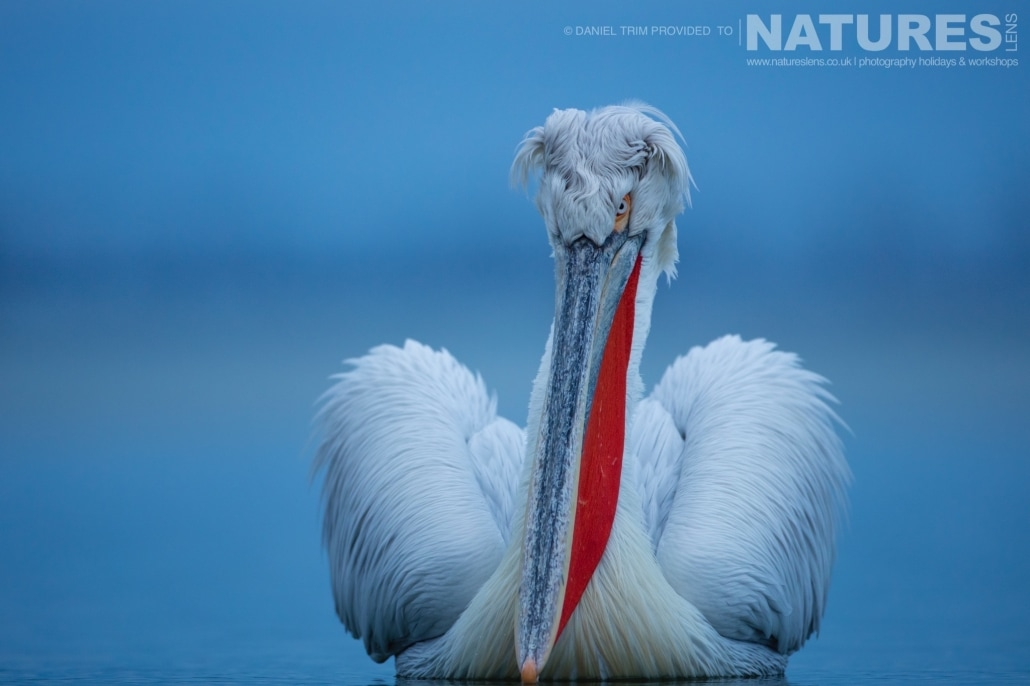 Dalmatian Pelican floating one of Daniel Trim's images captured on the NaturesLens Dalmatian Pelicans of Lake Kerkini Photography Holiday