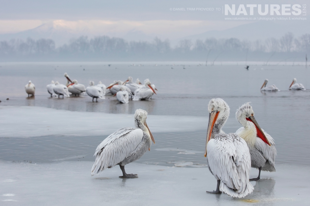 Dalmatian Pelican on Ice one of Daniel Trim's images captured on the NaturesLens Dalmatian Pelicans of Lake Kerkini Photography Holiday
