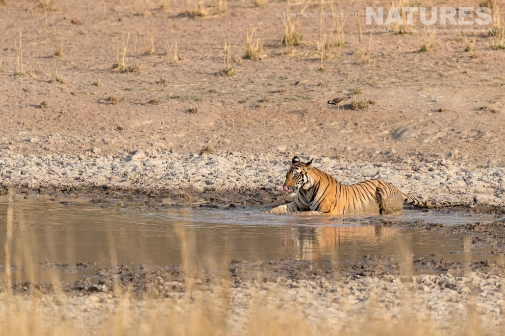 Dotty cools herself in one of the waterholes of Bandhavgarh captured during the NaturesLens Bengal Tigers of Bandhavgarh Photography Holiday