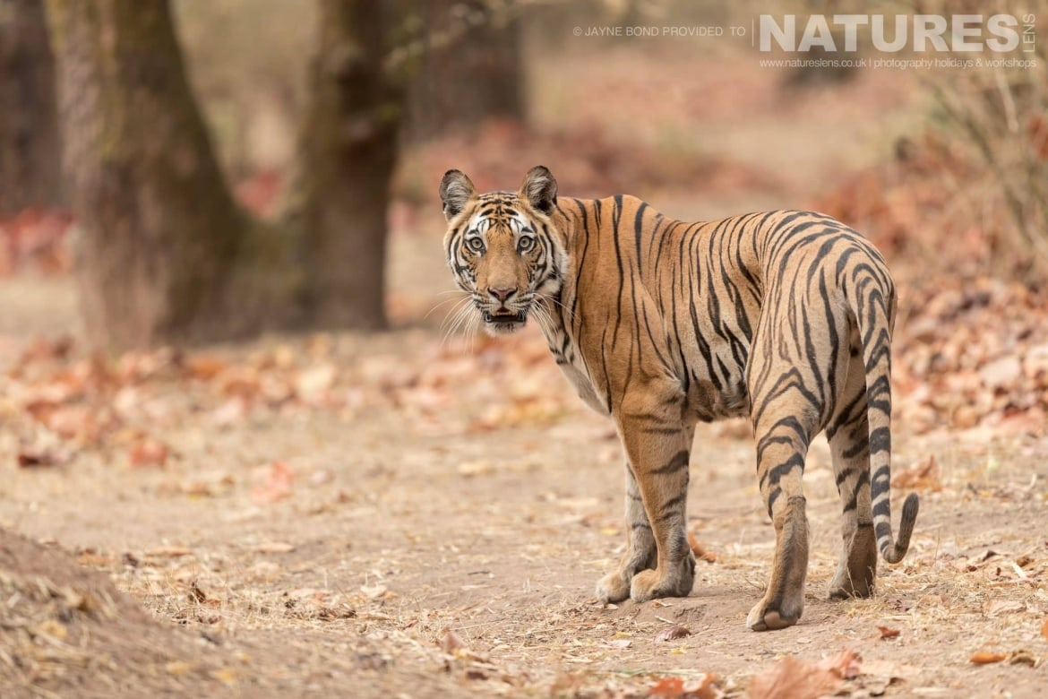 Dotty looks back she is one of the new mothers of Bandhavgarh Tiger Reserve captured during the NaturesLens Bengal Tigers of Bandhavgarh Photography Holiday