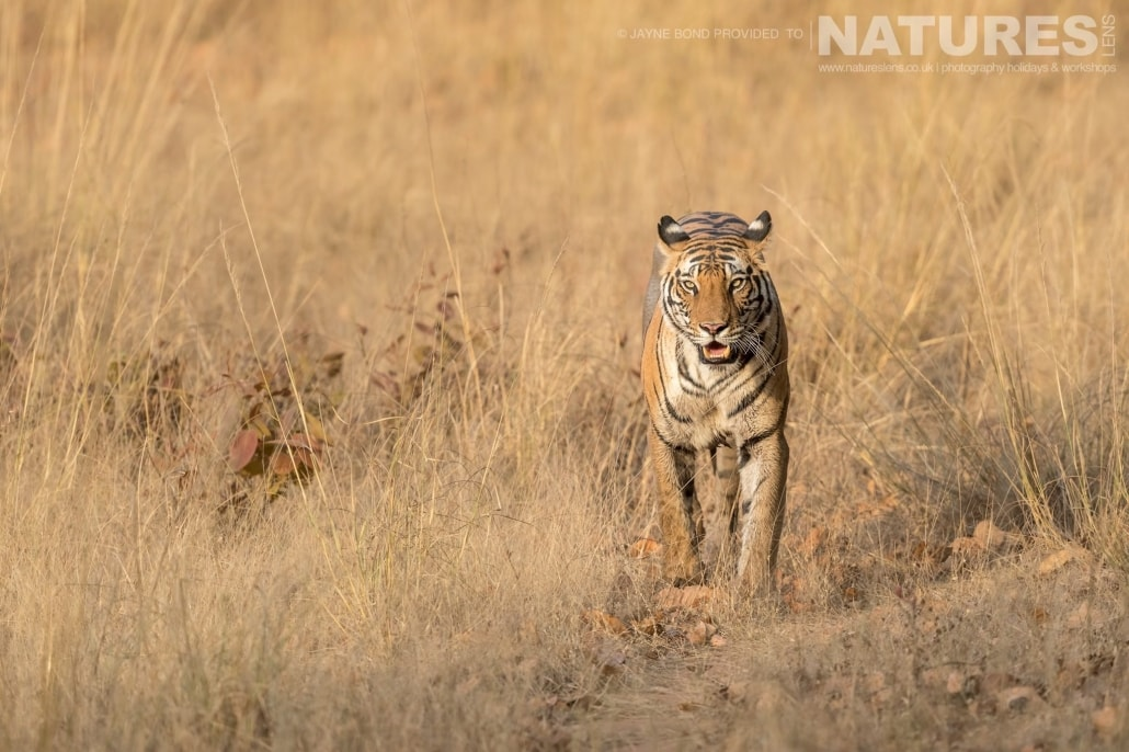 Dotty walks out of the grassland of one of Bandhavgarh's meadows captured during the NaturesLens Bengal Tigers of Bandhavgarh Photography Holiday