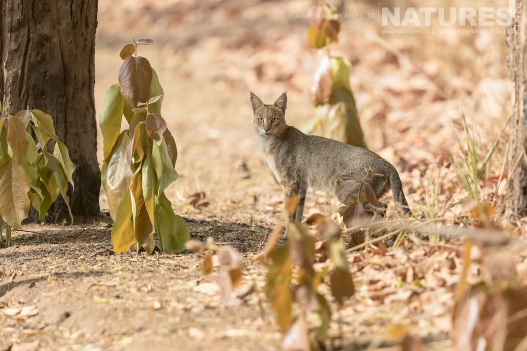 From the largets cat to one of the smallest, Bandhavgarh has them all, the jungle cat captured during the NaturesLens Bengal Tigers of Bandhavgarh Photography Holiday