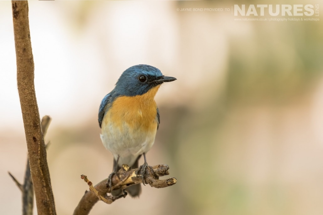 Gir too has plenty of birdlife captured during the NaturesLens Asiatic Lions of Gir Photography Holiday