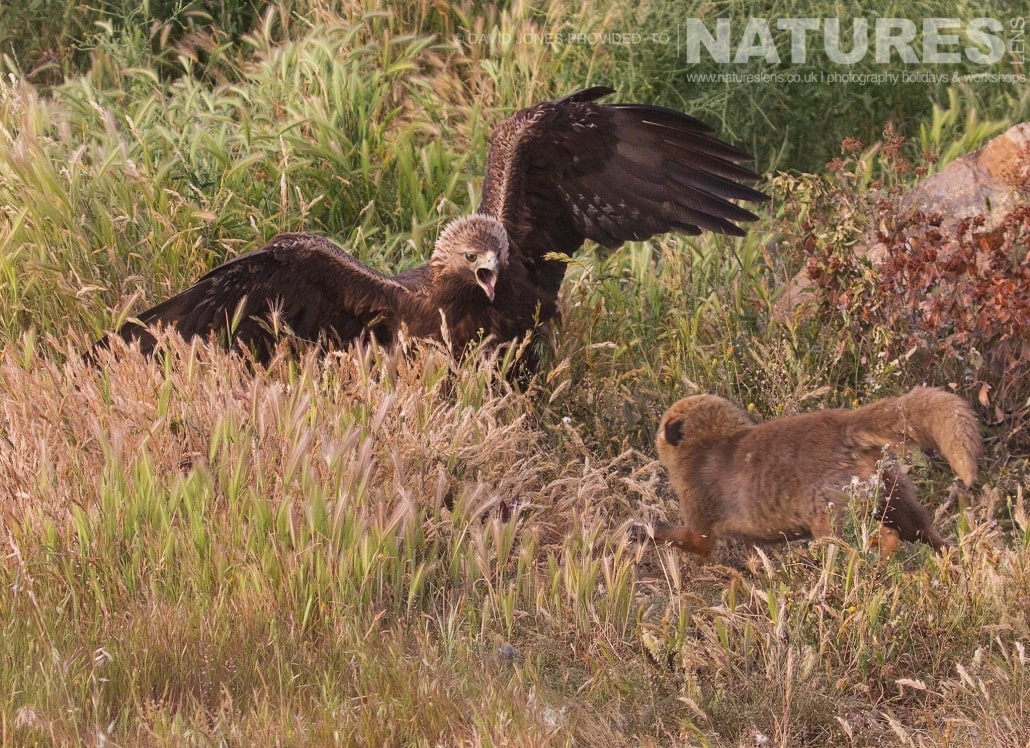 Golden Eagle and Red Fox Fighting photographed on one of the pair of NaturesLens Wildlife Photography Holidays to capture images of the Birds of Spain