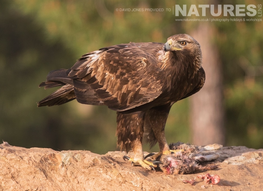Golden Eagle photographed on one of the pair of NaturesLens Wildlife Photography Holidays to capture images of the Birds of Spain