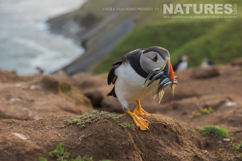 Having landed, a puffin skuttles to it's burrow with a mouthful of sandeels image captured on the NaturesLens Skomer Puffins Photography Holiday