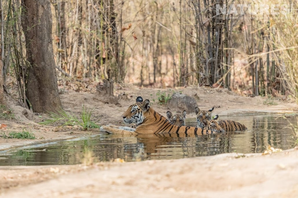 Kankatti and cubs a regular sight in Bandhvagarh in May 2017 captured during the NaturesLens Bengal Tigers of Bandhavgarh Photography Holiday