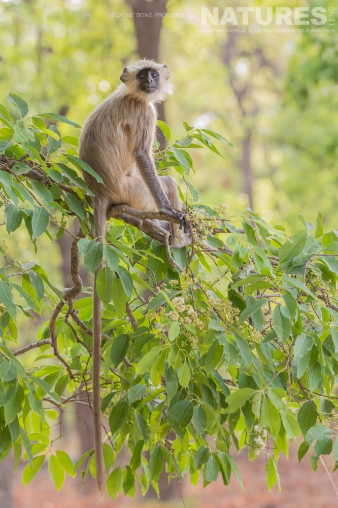 One of Bandhavgarh's Langur Monkeys captured during the NaturesLens Bengal Tigers of Bandhavgarh Photography Holiday
