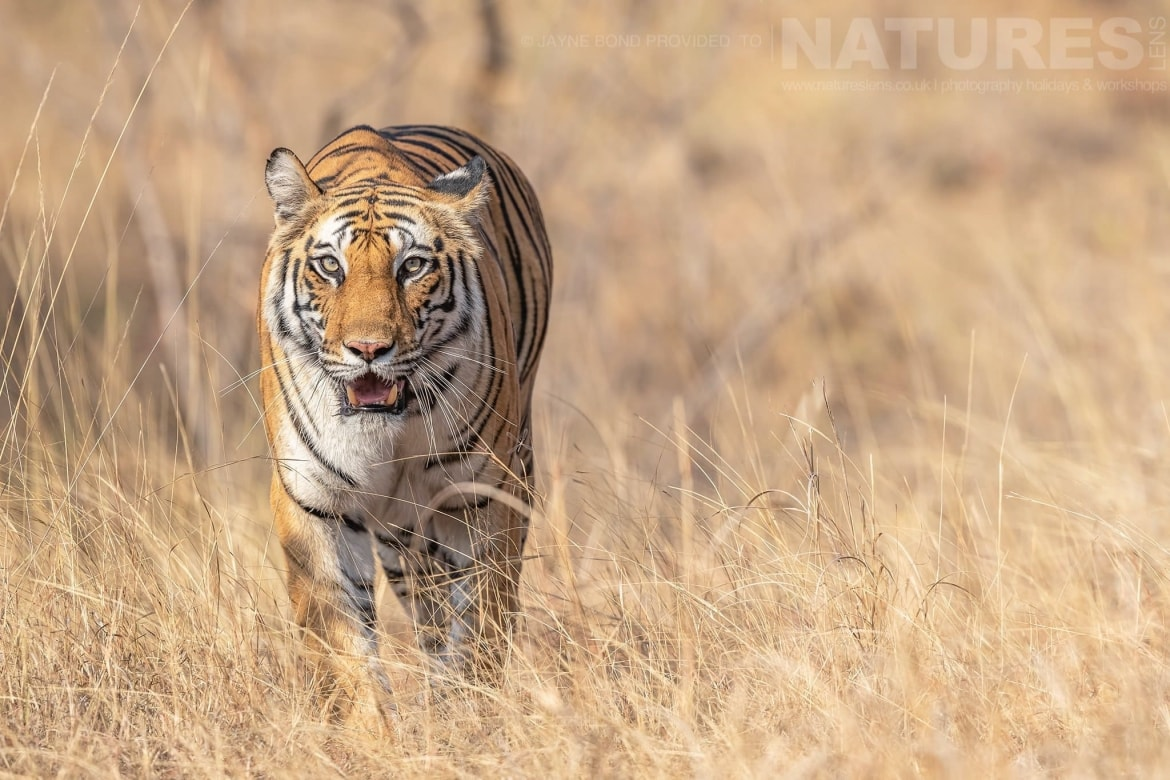 One Of Bandhavgarh's Beautiful Bengal Tigers Emerges From The Long Grass Of One Of The Meadows   Photographed During The NaturesLens Tigers Of Bandhavgarh Photography Holiday