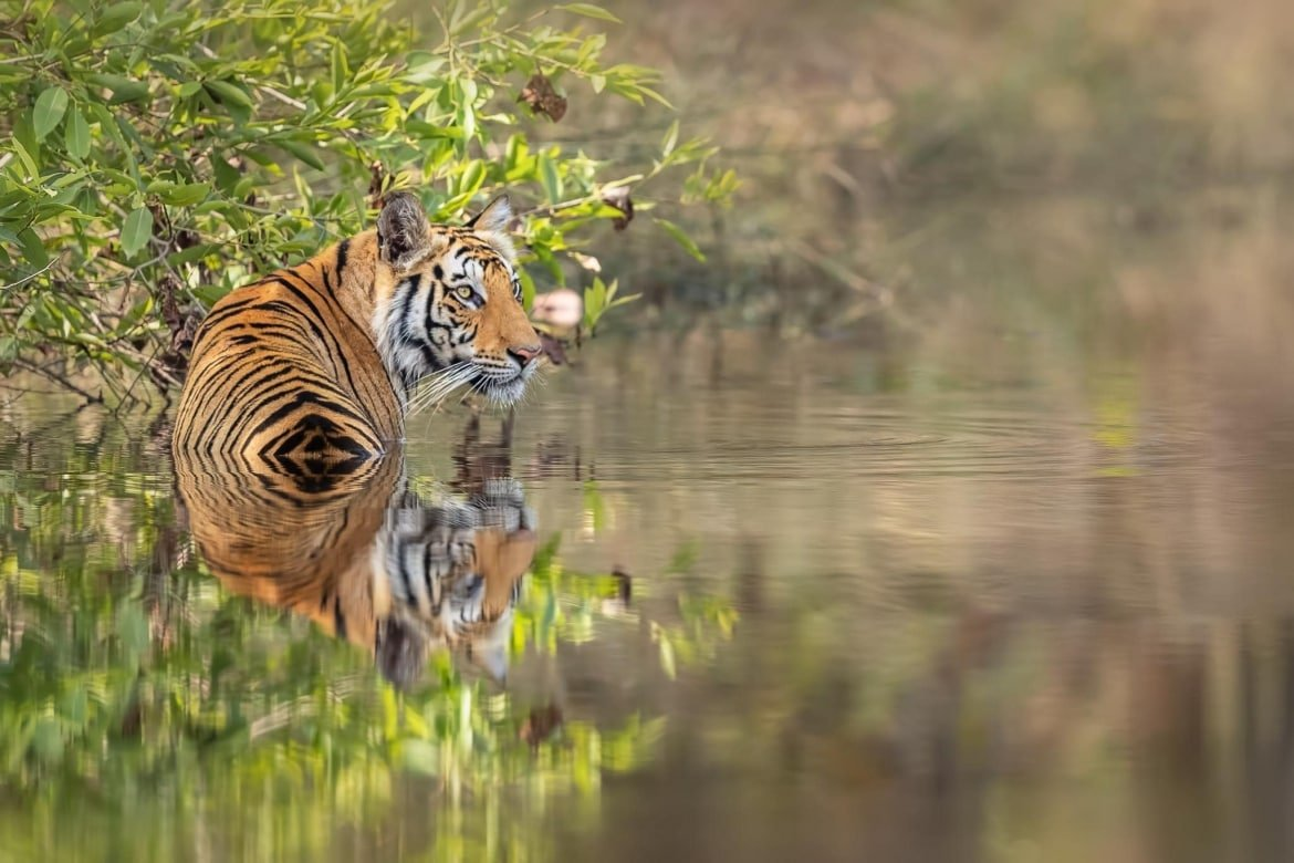 One Of Bandhavgarh's Beautiful Bengal Tigers In The Cooling Water Of A Pool Photographed During The NaturesLens Tigers Of Bandhavgarh Photography Holiday