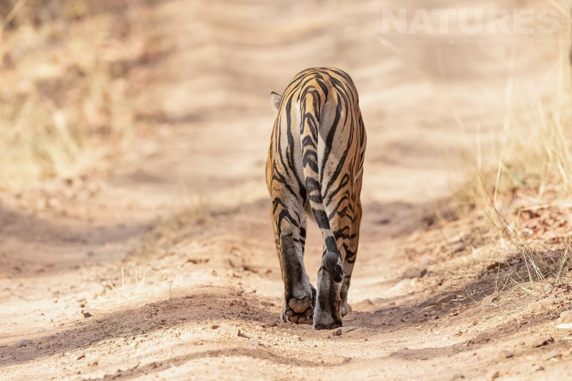 One Of Bandhavgarh's Beautiful Bengal Tigers Saunters Away Photographed During The NaturesLens Tigers Of Bandhavgarh Photography Holiday