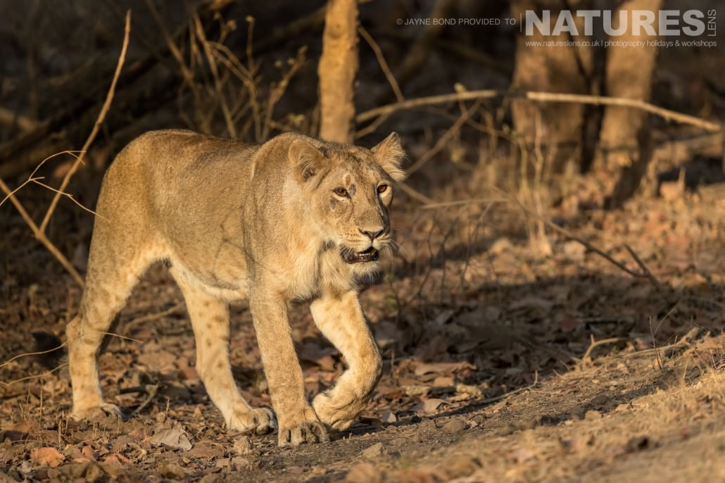One of Gir's magnificent Asiatic Lions captured during the NaturesLens Asiatic Lions of Gir Photography Holiday