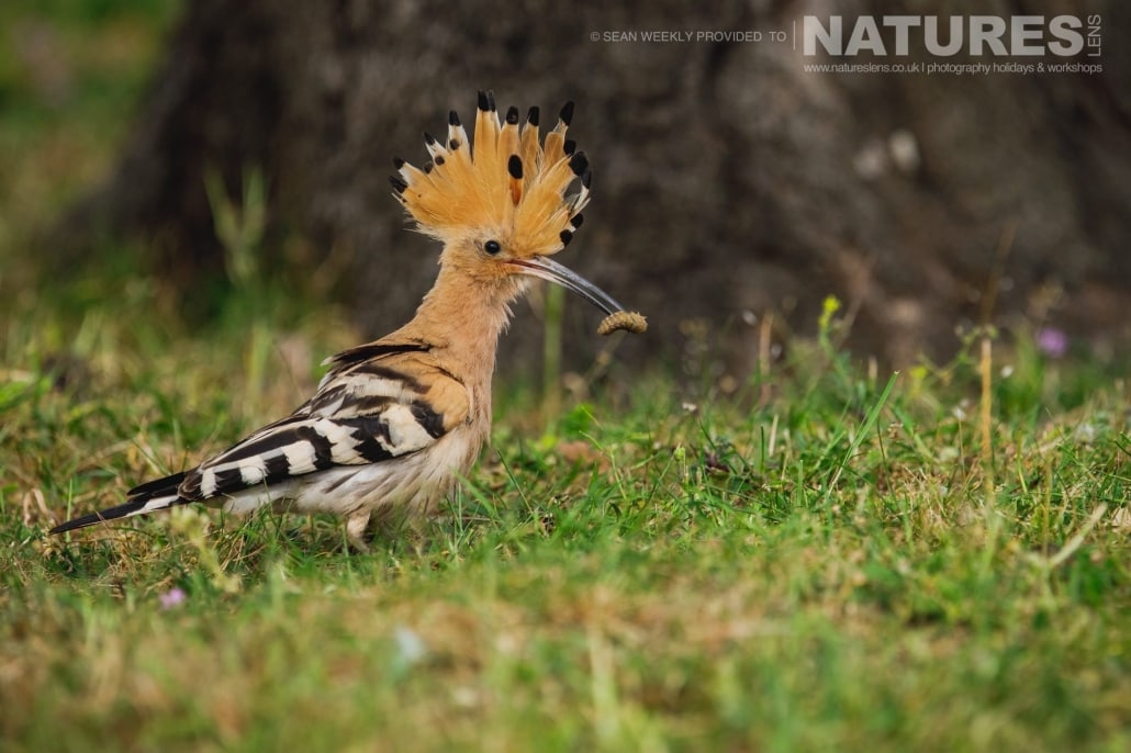 One of Spain's beautiful hoopoes returns to the nest having captured a grub for it's nesting young photographed during the NaturesLens Spanish Raptors Photography Holiday
