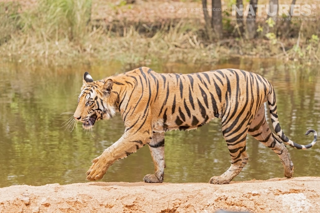One of the Rajbehra male cubs captured during the NaturesLens Bengal Tigers of Bandhavgarh Photography Holiday