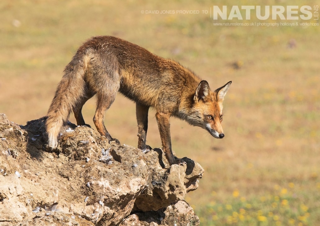 One of the Red Foxes that scavenge food from the Eagle hides photographed on one of the pair of NaturesLens Wildlife Photography Holidays to capture images of the Birds of Spain