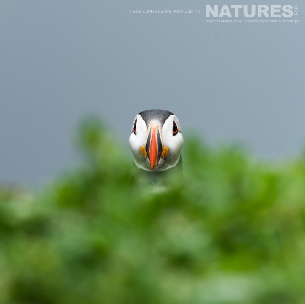 Peeping over the ground cover a puffin photographed on the NaturesLens Skomer Puffins Photography Holiday