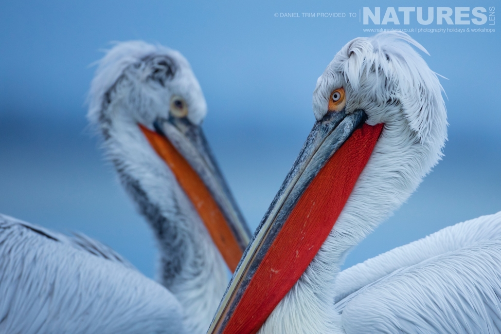 Serenity of Dalmatian Pelicans one of Daniel Trim's images captured on the NaturesLens Dalmatian Pelicans of Lake Kerkini Photography Holiday