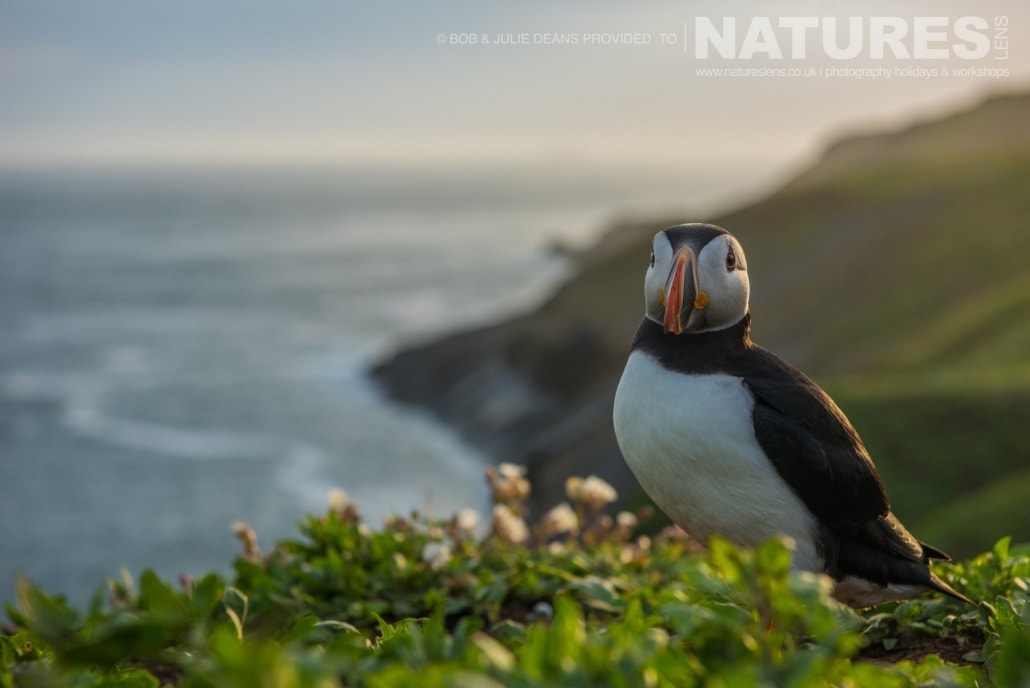 Stood on the cliff edge near The Wick a puffin photographed on the NaturesLens Skomer Puffins Photography Holiday