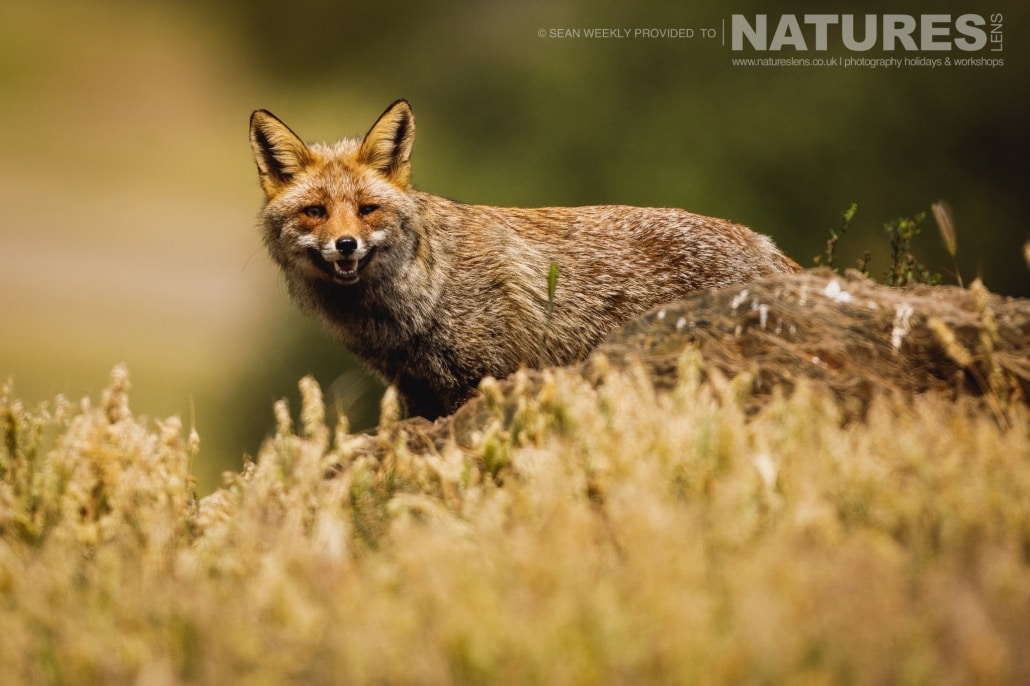 The Red Fox which was a regular visitor to the Golden Eagle hides photographed during the NaturesLens Spanish Raptors Photography Holiday