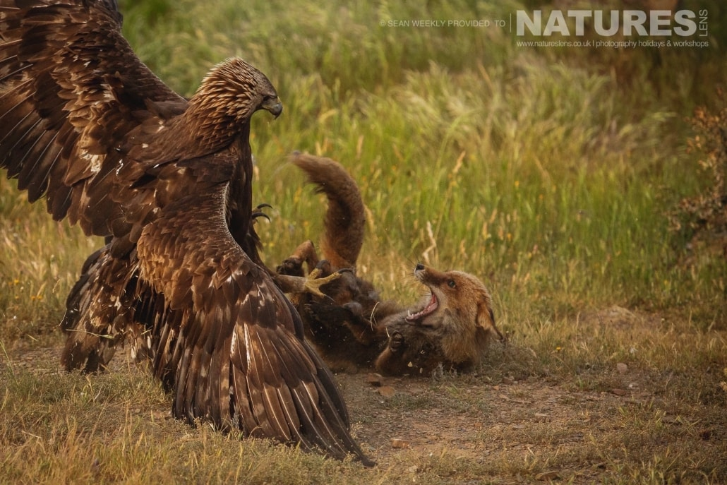 The battle of the Red Fox & the Golden Eagle photographed during the NaturesLens Spanish Raptors Photography Holiday