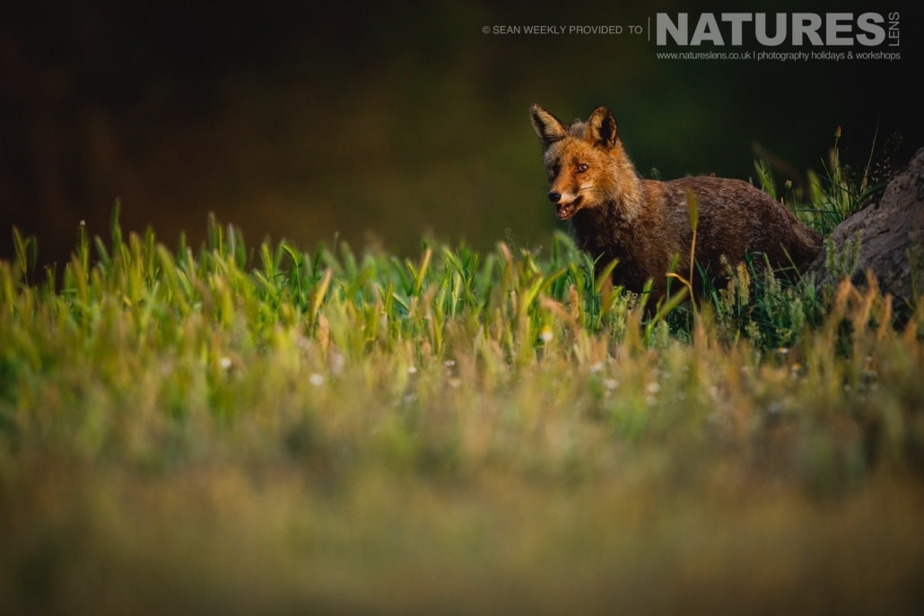 This Red Fox was a regular visitor to the Golden Eagle hides, always seeking out food photographed during the NaturesLens Spanish Raptors Photography Holiday