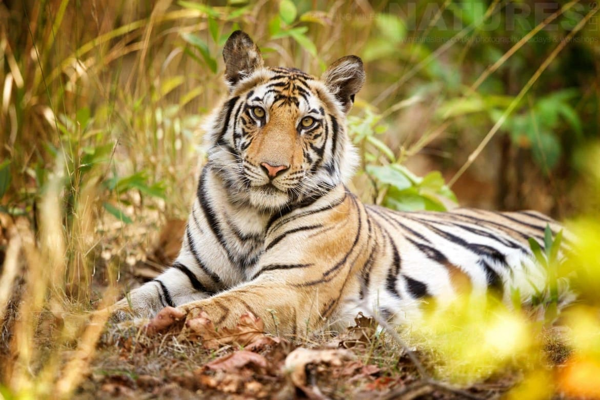 Tiger Cub Portrait   Photographed During The NaturesLens Tigers Of Bandhavgarh Photography Holiday