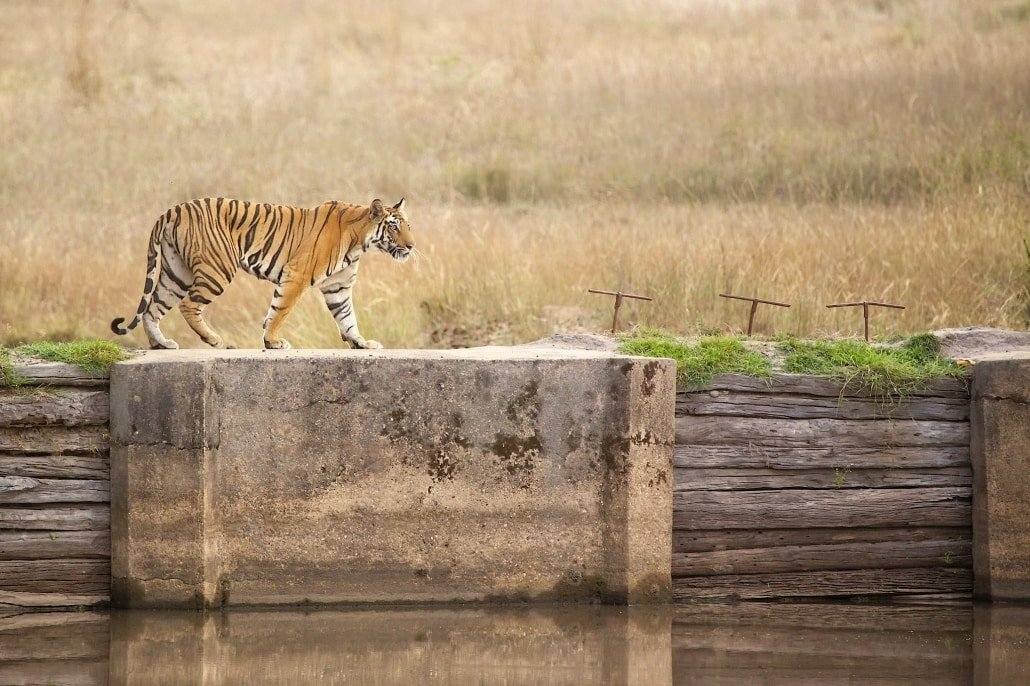 Tigress Walking Across The Dam   Photographed During The NaturesLens Tigers Of Bandhavgarh Photography Holiday