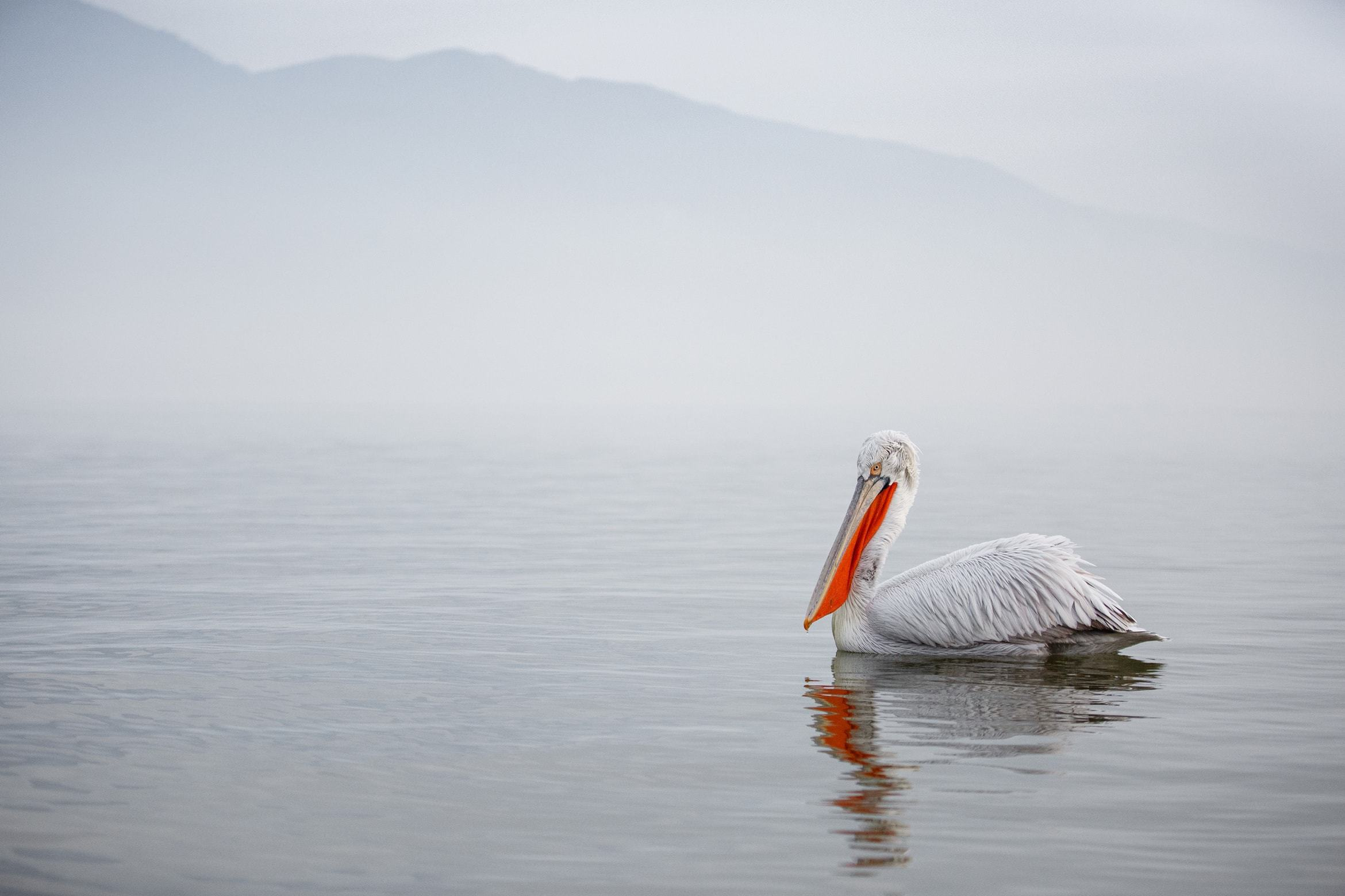 A Dalmatian Pelican Drifts Serenely Across The Waters Of Lake Kerkini   Photographed During The NaturesLens Dalmatian Pelicans Of Greece WIldlife Photograhpy Holiday