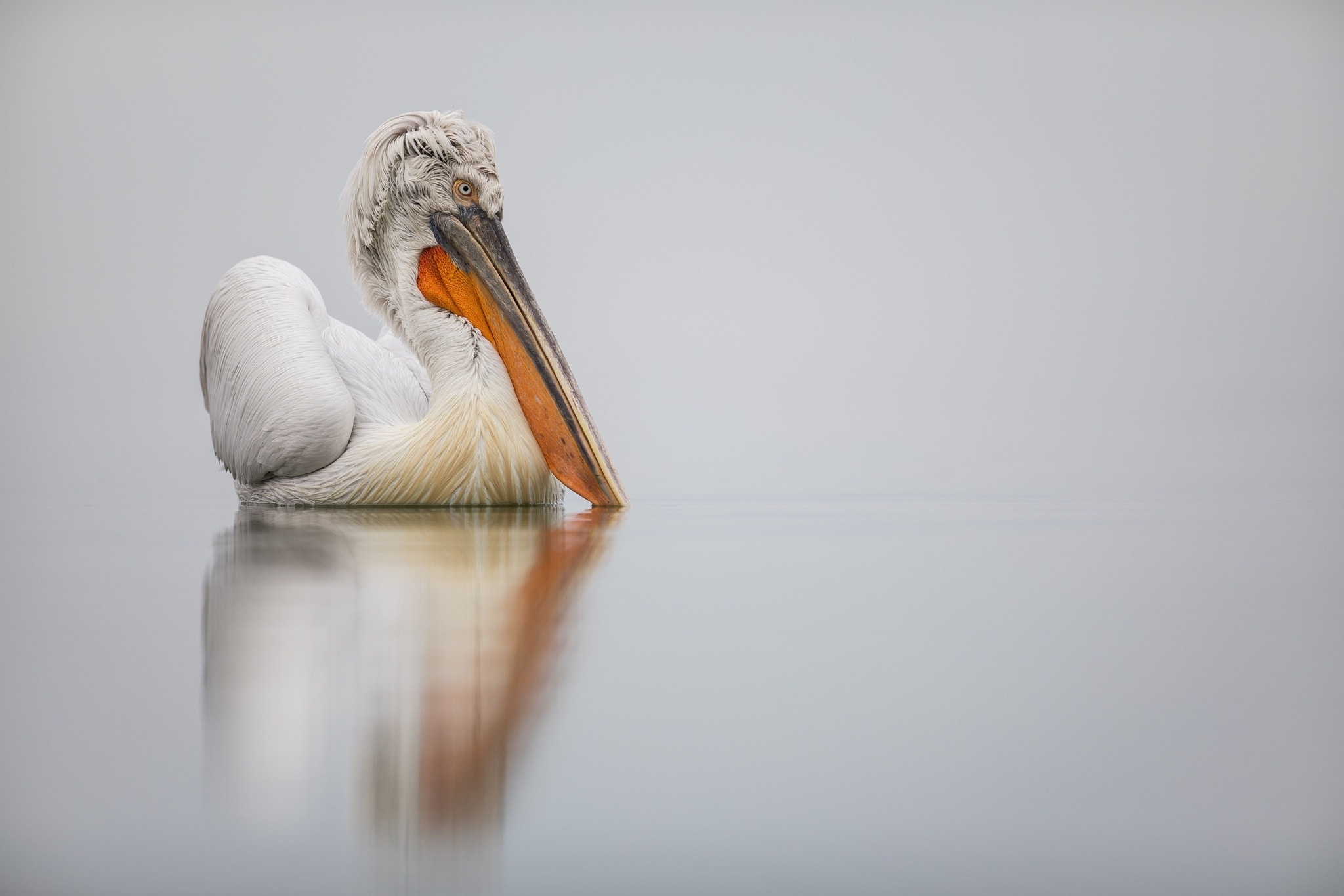 A Dalmatian Pelican Reflected In The Waters Of Lake Kerkini   Photographed During The NaturesLens Dalmatian Pelicans Of Greece Photography Holiday