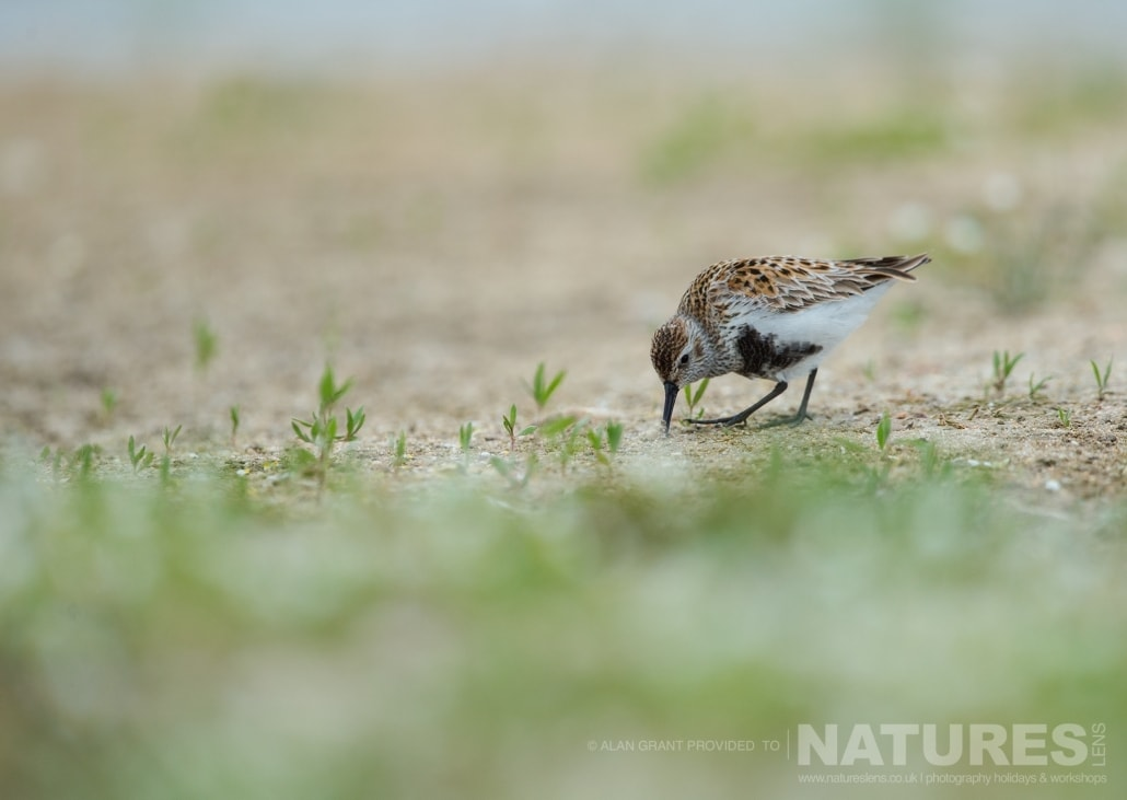 A Dunlin at the Lake Hide photographed on one of the pair of NaturesLens Wildlife Photography Holidays to capture images of the Birds of Spain