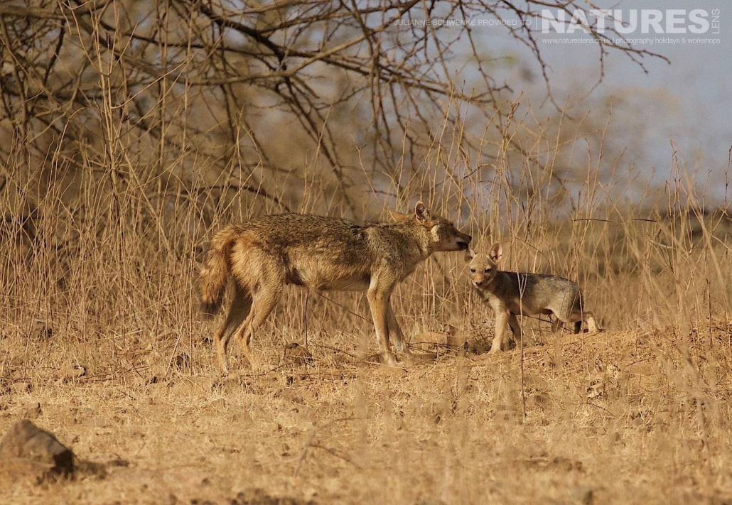 A Jackal mother & one of her cubs photographed during the NaturesLens Asiatic Lions of Gir Photography Holiday