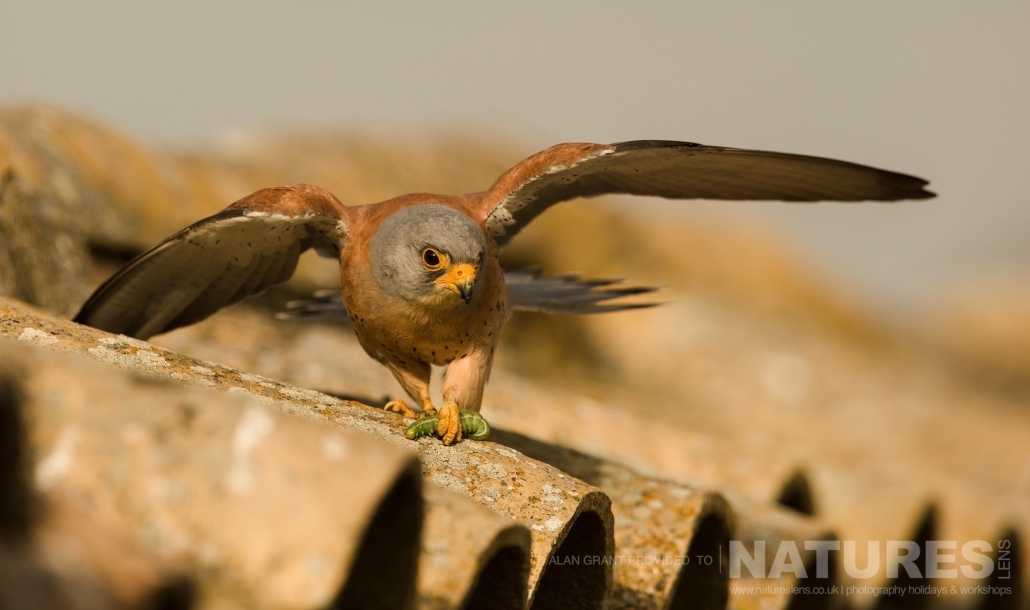 A Lesser Kestrel returns to the rooftop with a freshly caught caterpillar photographed on one of the pair of NaturesLens Wildlife Photography Holidays to capture images of the Birds of Spain