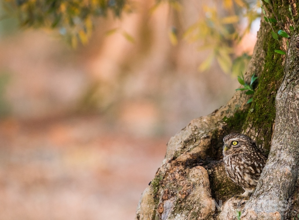 A Spanish Little Owl at it's nesting site in an olive grove photographed on one of the pair of NaturesLens Wildlife Photography Holidays to capture images of the Birds of Spain