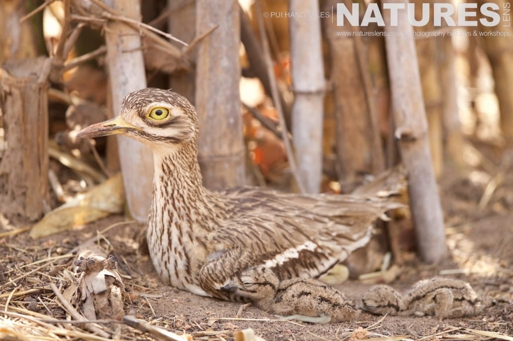 A Stone Curlew with two chicks laying behind photographed on the 2017 Tigers of Bandhavgarh Safari Holiday