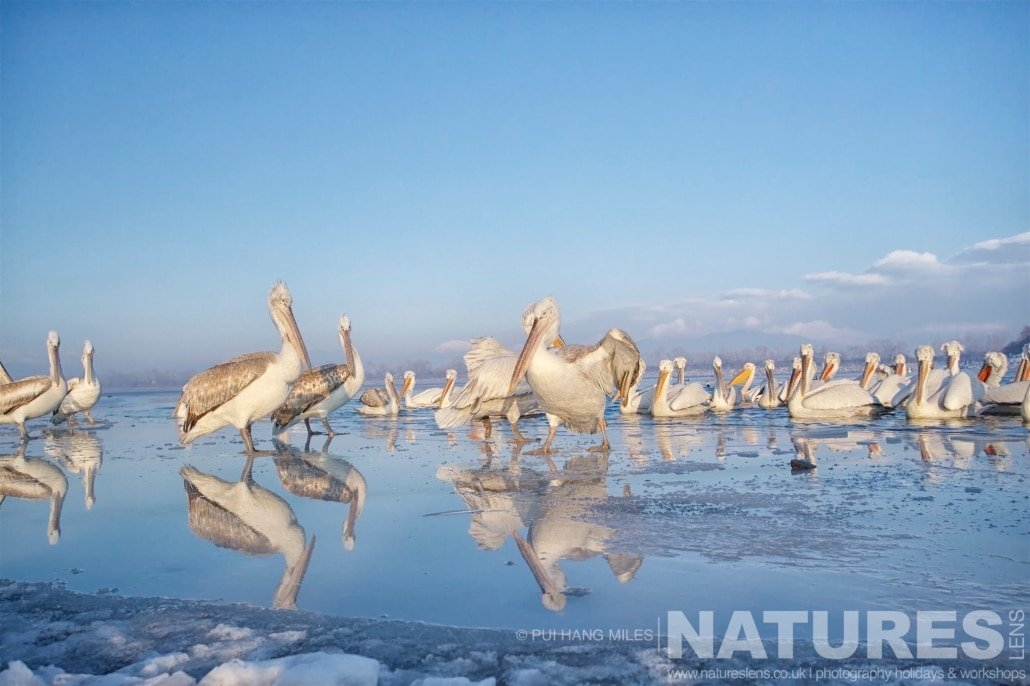 A Wide angle pelican shot showing their reflections on the melting ice image captured during the 2017 NaturesLens Dalmatian Pelican Photography Tour
