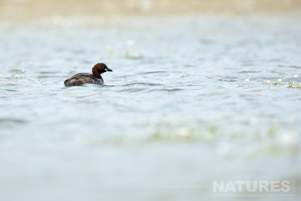 A beautiful little grebe swims past the lake hide photographed on one of the pair of NaturesLens Wildlife Photography Holidays to capture images of the Birds of Spain
