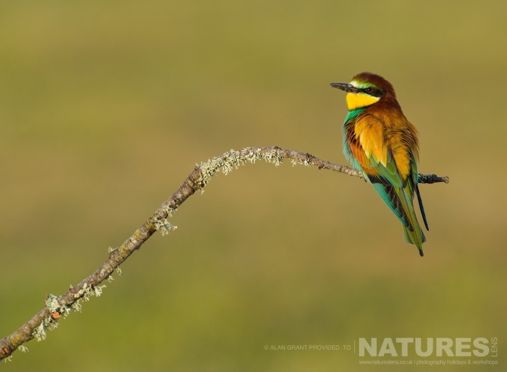 A beautiful portrait of a bee eater photographed on one of the pair of NaturesLens Wildlife Photography Holidays to capture images of the Birds of Spain