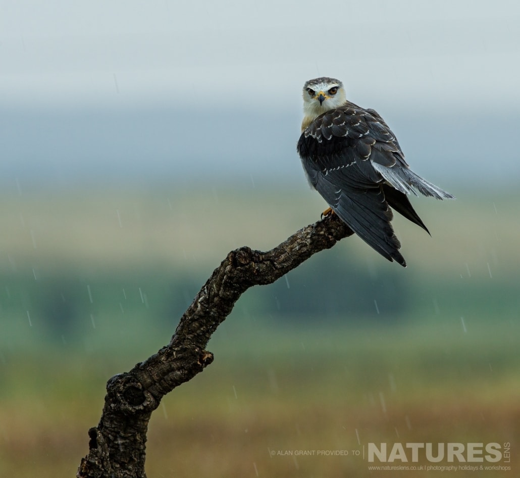 A black winged kite perches in the rain photographed on one of the pair of NaturesLens Wildlife Photography Holidays to capture images of the Birds of Spain