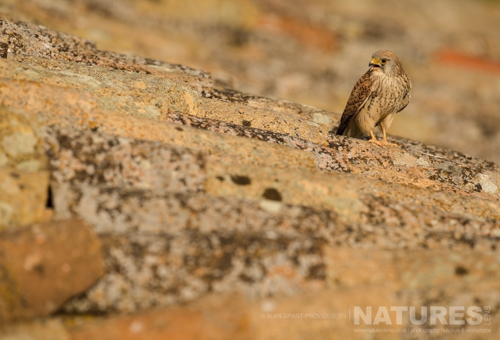 A calling Lesser Kestrel near the rooftop nesting site photographed on one of the pair of NaturesLens Wildlife Photography Holidays to capture images of the Birds of Spain