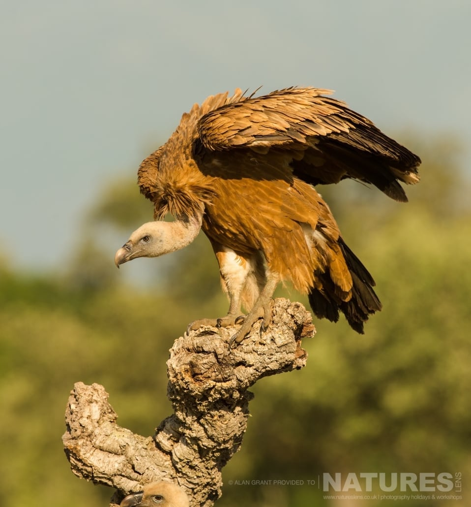 A griffon vulture perches at the vulture feeding site photographed on one of the pair of NaturesLens Wildlife Photography Holidays to capture images of the Birds of Spain