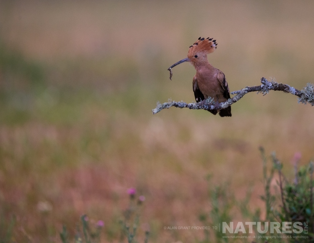 A hoopoe perches having returned to the nest with a captured insect photographed on one of the pair of NaturesLens Wildlife Photography Holidays to capture images of the Birds of Spain