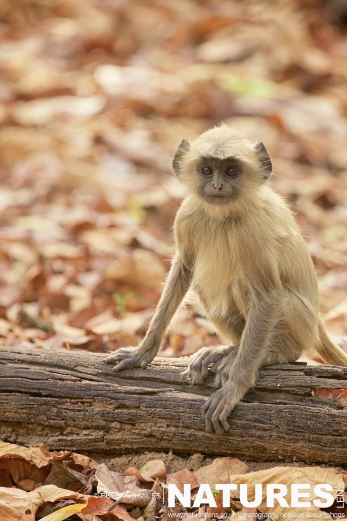 A juvenile langur sat on one of the forest logs photographed on the 2017 Tigers of Bandhavgarh Safari Holiday