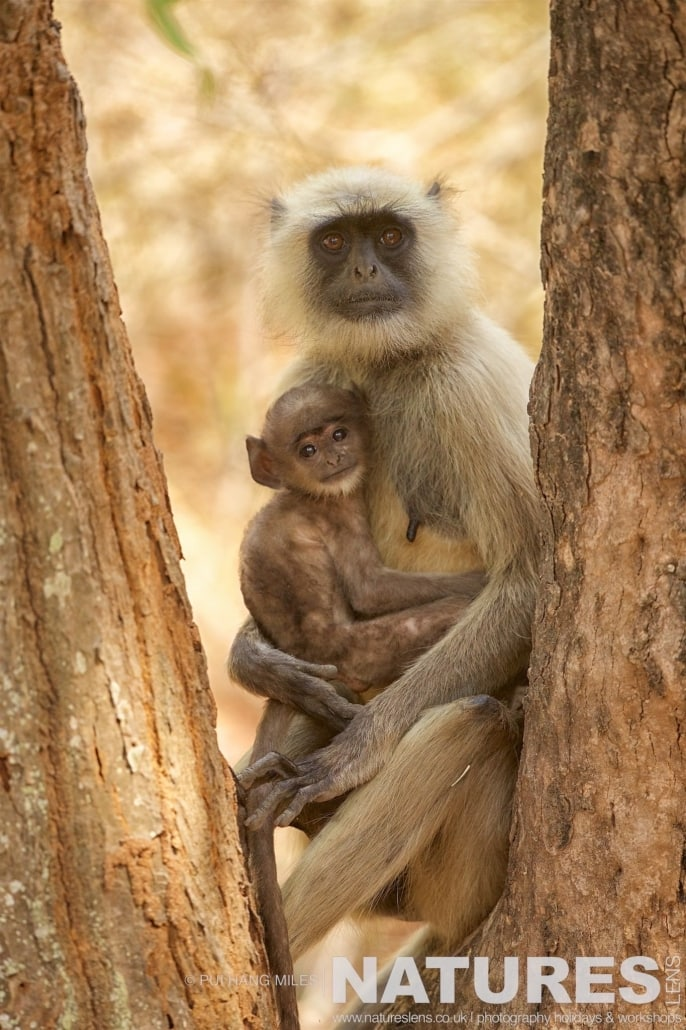 A langur monkey holding her baby photographed on the 2017 Tigers of Bandhavgarh Safari Holiday